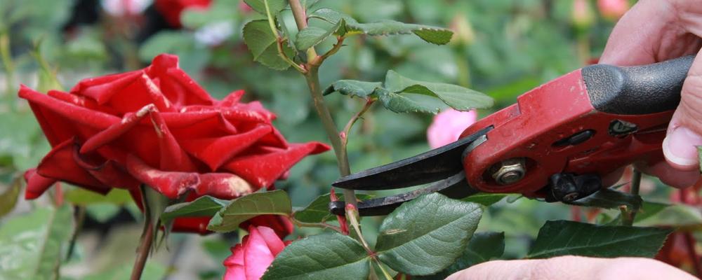 Κλaδεμα τριανταφυλλιaς